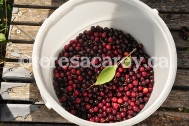 Berries 2 (Choke Cherries)