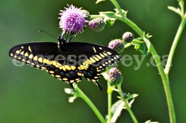 Butterflies 8 (Black Swallowtail)