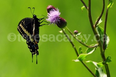 Butterflies 3 (Black Swallowtail)