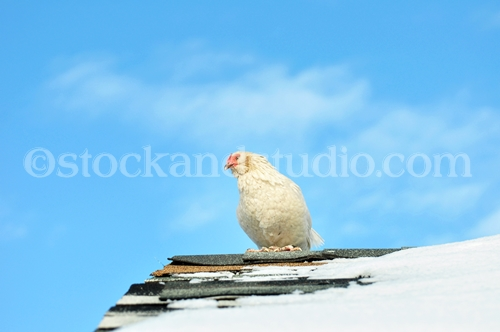White Hen On The Roof
