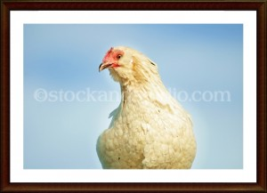 chicken6-framed