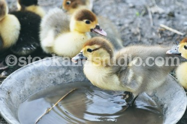 Ducklings 2