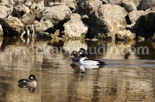 Ducks 2 (Common Goldeneyes)