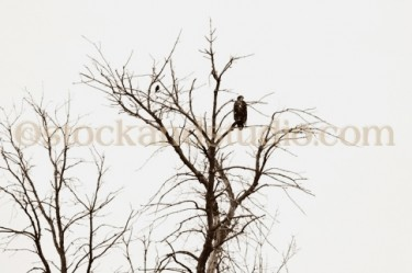 Eagle 6 (Bald Eagle with Blackbird)