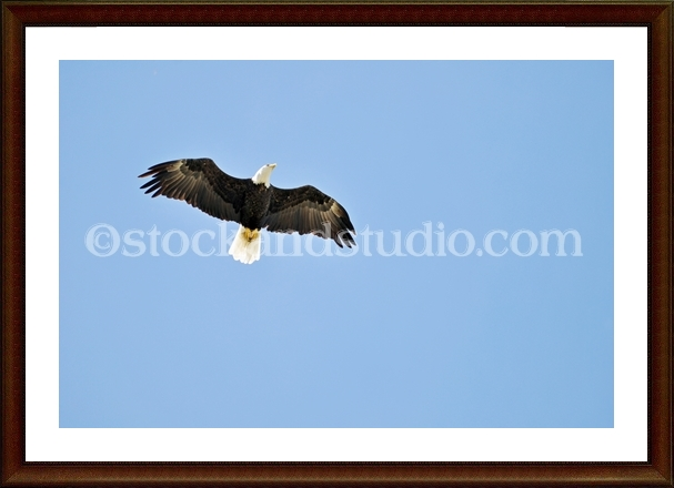 eagle4-framed