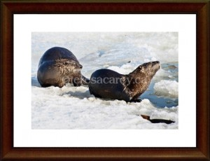 otters2-framed