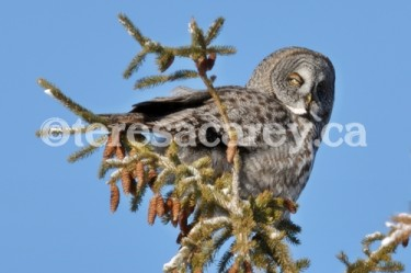 Owl 6 (Great Grey)