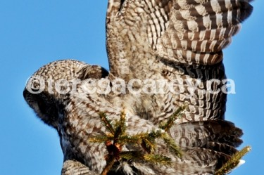 Owl 7 (Great Grey)