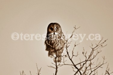 Owl 3 (Great Grey)