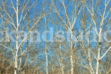 White Poplar Panorama 1