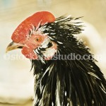 rooster-head shot2-400