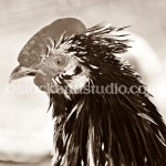 rooster-head shot3-400