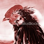 rooster-head shot8-400