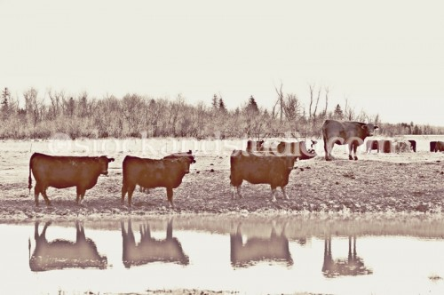 Brown Cows in a Row (Sepia)