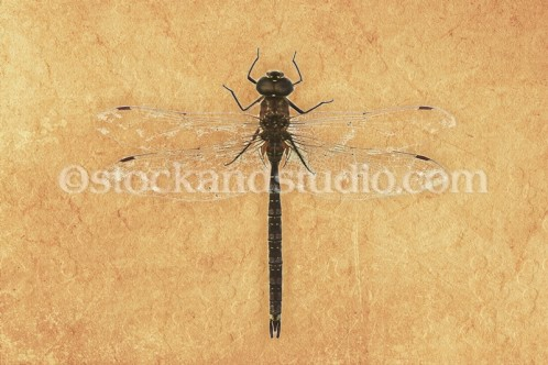 Black Dragonfly on Tan