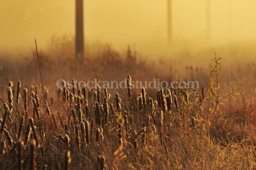 Cattails at Sunrise