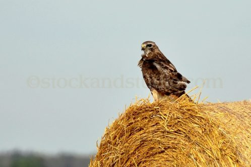 Hawk 2  – Red Tailed Hawk on Hay Bale