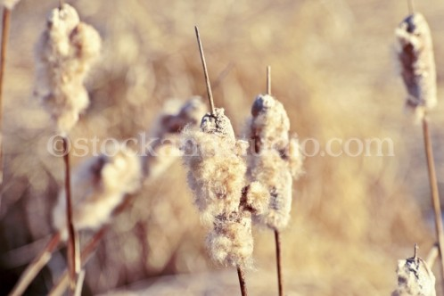 Cat Tails in Spring