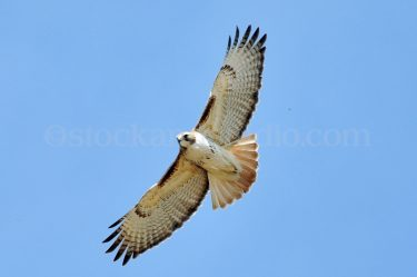 Hawk 1 – Red Tailed Hawk in Flight