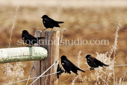Blackbirds on a Fence 1
