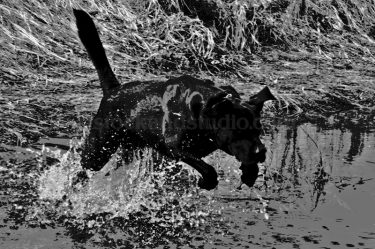 Black Dog Jumping Through Water