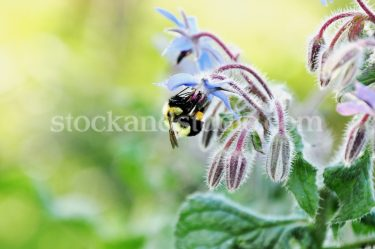 Borage Flower & Bee