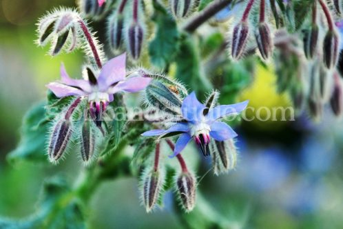 Borage Flowers, Pink and Blue Blooms