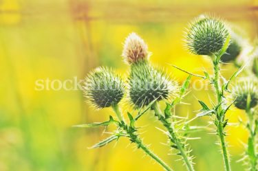 White Thistle – Green & Yellow