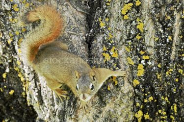 Squirrel on Mossy Tree Bark