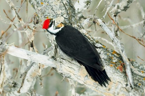 Pileated Woodpecker Boring a Hole