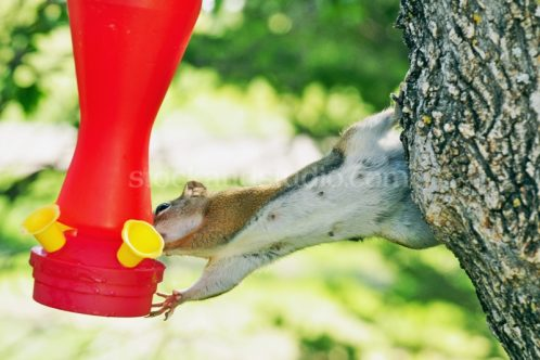 Mother Squirrel Drinking From Humming Bird Feeder