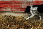 Black & White Dog – Red Barn Wall