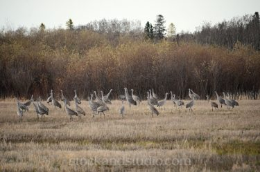 A Field of Sandhill Cranes in Manitoba